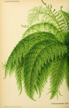 a fern in L'Illustration horticole Vintage Botanical Prints, Botanical Drawings, Botanical Art, Vintage Prints, Illustration Botanique, Plant Illustration, Botanical Illustration, Instalation Art, Paper Wall Art