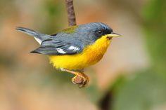 Foto mariquita (Setophaga pitiayumi) por Orlando Machado | Wiki Aves - A Enciclopédia das Aves do Brasil