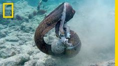 Eigentlich sollte es der Mensch besser wissen, als sich in einen Kampf zwischen zwei wilden Tieren einzumischen. National Geographic hat ein Video veröffentlicht, in welchem ein aggressiver Muränen-Aal gegen einen Kraken antritt und während der Kameramann den Kampf gefilmt hat, legte sich der Aal mit dem Kameramann an