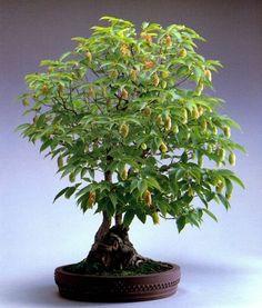 Carpinus japonica Blume