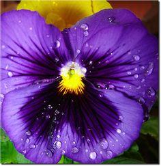 Resultados da Pesquisa de imagens do Google para http://www.tudobacana.com.br/imagem/index/1486224/G/amor_perfeito.jpg