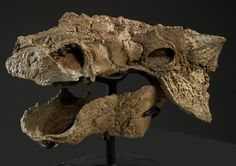 Zuul is the best preserved and most complete ankylosaurine ever from North America, and includes a gorgeously complete skull. (Credit NAME)