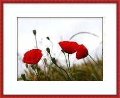 Free Red Poppies in the Rain wallpaper Wallpapers – HD Wallpapers … – Sim Šoóšová – wallpaper iphone Rain Wallpapers, Hd Backgrounds, Red Poppies, Red Flowers, Sunflowers, Flower Wallpaper, Iphone Wallpaper, Camouflage, California Poppy