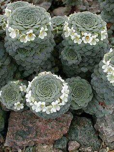 Viola Columnaris Vulcanica, alpine plant, Patagonia, Argentina by Margit Sepsi