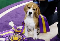 The Westminster Kennel Club Dog Show picked a Beagle as its best in show, scoring a knockout blow for America's Snoopy breed for the second time in seven years.