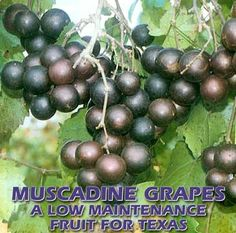 Muscadine grape information