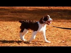 Victoria Stilwell Teaches Spaniel Candace Loose-Leash Walking Outside - http://www.ruffingtonpost.com/victoria-stilwell-teaches-spaniel-candace-loose-leash-walking-outside/