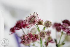 Nyt on se aika, kun omasta puutarhasta  löytyy kukkia kotiin asti kannettavaksi. Tähtiputki on kiitollinen kukkija niin ...