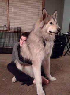 This German Shepherd/Husky mix is huge. <----actually its an Alaskan malamute Giant Alaskan Malamute, Malamute Dog, Alaskan Husky, Alaskan Klee Kai, Huge Dogs, Giant Dogs, Cute Big Dogs, Big Fluffy Dogs, Fluffy Cat