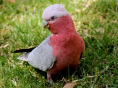 GALAH-The lady in Pink
