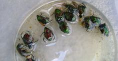 Garden View: Home Made Japanese Beetles Repellent / Trap and Bait