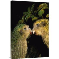 Global Gallery 'Kakapo Pair Playing, Codfish Island, New Zealand' Framed Photographic Print Size: Beautiful Birds, Animals Beautiful, Kakapo Parrot, Parrot Pet, Budgies, Parrots, Cod Fish, Rare Birds, Big Bird