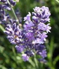lavender flowers - Google Search