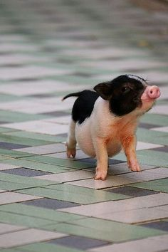 Mini pig on a tiled floor