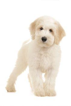 Teddy Bear Goldendoodle www . Mini Goldendoodle, Goldendoodle Haircuts, Goldendoodle Grooming, Dog Grooming, Goldendoodles, Labradoodles, Cute Puppies, Cute Dogs, Teddy Bear Puppies