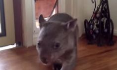 Orphaned Baby Wombat Learns to Use the Cat Door (Video)