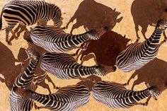 Photo of the Day: Zebra shadows Photo by Elli Kraizberg (Tomkins Cove, New York); South Africa