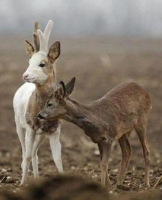 roe deer ( piebald buck )