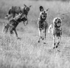 Cape Hunting Dogs or 'Painted Dogs'. Only 450 left in the wild - see em before they're gone!