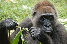 Nyango is the only known cross river gorilla in captivity. Cross river gorillas are the most endangered of the apes.