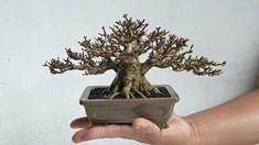 Mame Bonsai, Bonsai Styles, How To Dry Basil, Herbs, Herb, Medicinal Plants