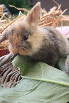 Foto 4 süße Teddy Widder Baby Kaninchen vom Züchter Baby