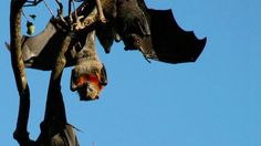The 'super immunity' of bats is good for them and potentially good for us http://ift.tt/1R2NXt0  For most people bats are curious creatures that only venture out as we go to sleep but they are also something of a medical mystery.  The animals are known to carry more than 100 of the worlds deadliest diseases including Ebola and the Middle Eastern Respiratory Syndrome (MERS) virus but bats dont often seem to suffer their ill effects.  SEE ALSO: CDC investigating 14 cases of Zika virus possibly…