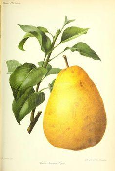fruits-04279 - Pear [3344x4956]