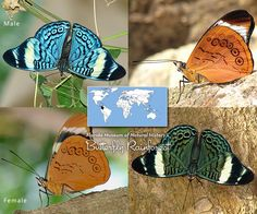 Procilla Beauty Panacea procilla - really cool blue butterfly (though wings are a little complicated)