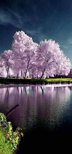 Blossoms in Reflection ❤