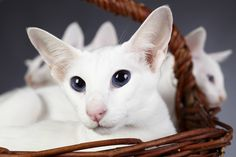 The Colorpoint is a loyal and loving feline who will pout and pine if given little or no attention. See all Colorpoint Shorthair characteristics below! Cute Kitten Gif, Kittens Cutest, Cats And Kittens, Cat Breeds With Pictures, Cat Breeds List, Colorpoint Shorthair, Hypoallergenic Cats, Huge Cat, American Shorthair Cat