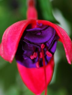 Fuchsia.   Flickr - Photo Sharing!
