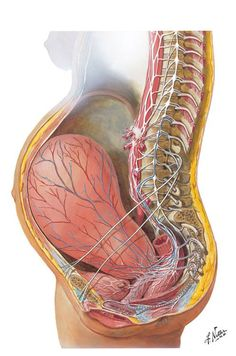 View of a pregnant uterus, look at the stretch of those ligaments!