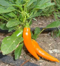 Bulgarian Carrot - This variety came to America in the 1970's from Bulgaria and is well adapted to the cool Scandinavian climate. It's easy to see how this heirloom pepper got its name.The long tapered orange fruits might fool one into thinking it is sweet, but that is not the case at over 12,000 Scoville Heat Units!