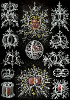 Haeckel Stephoidea edit - Kunstformen der Natur - Wikipedia