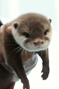 Otters #otters