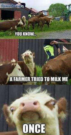 funny cow pictures humor
