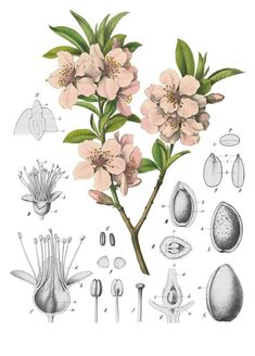 Almond Blossoms Botanical Reference