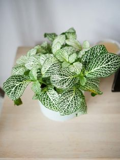 Witte fittonia