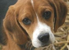 Give Beagles Destined for Scientific Testing a Second Chance at Normal Life|Help by signing petition to release beagles from closed breeding facility to loving homes instead of inhumane laboratories.