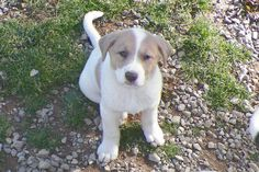 Meet Yumi, an adoptable Labrador Retriever looking for a forever home. If you're looking for a new pet to adopt or want information on how to get involved with adoptable pets, Petfinder.com is a great resource.