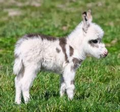Here's a miniature donkey .. precious - Cute animals world