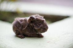 omg someone PLEASE get me a baby guinea pig. Literally all I want. @Tammy Tarng Tarng Tarng Tarng Tarng Gooch