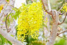 #Yellow draping #Flower at #EsperanzaResort