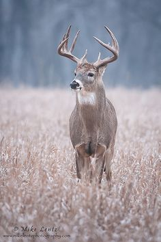 ☀Buck in field by Mike Lentz Photography on Flickr*