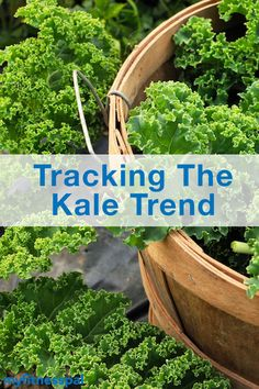 It crept onto our menus, then it showed up on clothing. See how kale came to be a full-blown sensation. Healthy Eating Tips, Healthy Cooking, Cooking Tips, Cooking Recipes, Healthy Recipes, Kale Caesar Salad, Sauteed Kale, Healthy Water, Fitness Pal