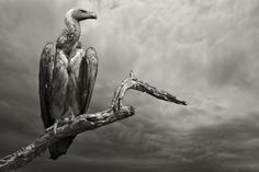 The Vulture II by Mario Moreno on 500px