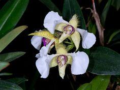 Dendrobium eximium - Flickr - Photo Sharing!