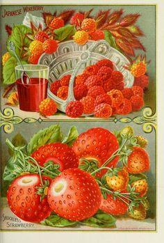 vintage seed catalog illustration, berries