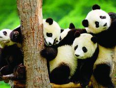 Panda Evlat Edinmek İsteyen El Kaldırsın WWF-Türkiye'nin nesli tehlike altındaki türlerin korunması için yürüttüğü evlat edinme kampanyası ile hem sevdiklerinize anlamlı bir hediye verebilir hem de panda, deniz kaplumbağası, saz kedisi, turna, yunus gibi nesli tehlikedeki canlıları koruyabilirsiniz. Haberin devamı ajanimo.com'da..